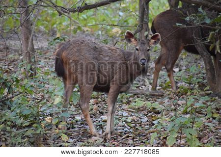 Sambar Deer In Jungle Giving Pose For A Photo