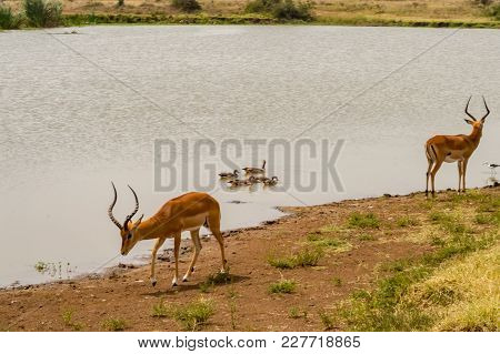 Impala At The Edge Of A Waterhole With Ducks And Other Birds In Nairobi Kenya Park