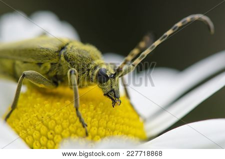 Green Insect Weevil Sitting On Camomile Flower Macro