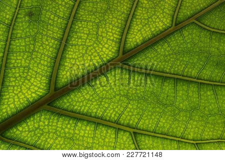 A Juicy Green Leaf On Which The Veins And Cells Are Viewed.