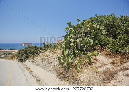 Cacti On The Roadside. Cyprus