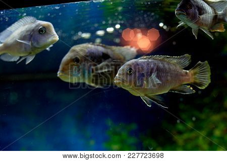 Fish In The Aquarium, Blue Water. Dreams Of The Sea. Relax At Home