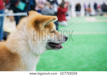 portrait of a dog breed  Japanese Akita before going into the ring at an exhibition of dogs