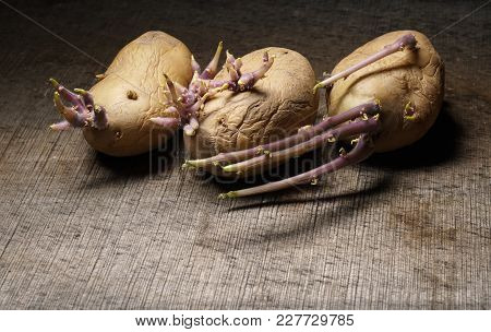 Organic Seed Potatoes With Sprouts On Wooden Background. Sprouting Tubers Of Solanum Tuberosum. Clos