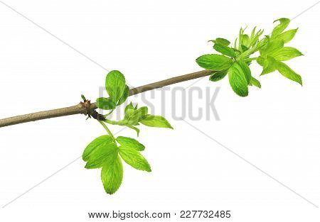 Young Foliage. Close-up. Elderberries. Spring . Isolated Without A Shadow.