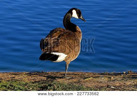 A Canada Goose Stands On One Leg While In The Preening Process On The Shore Of A Very Blue Lake.