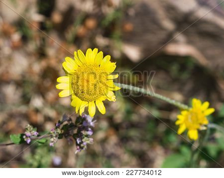 Oxeye Chamomile, Golden Marguerite Or Cota Tinctoria Flower Macro With Bokeh Background, Selective F