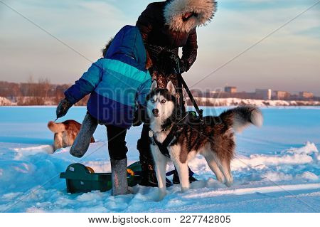 Child Get Into Sledge In Which Siberian Husky Is Harnessed. Winter Fun. Ride On Dog Sleds On The Sno