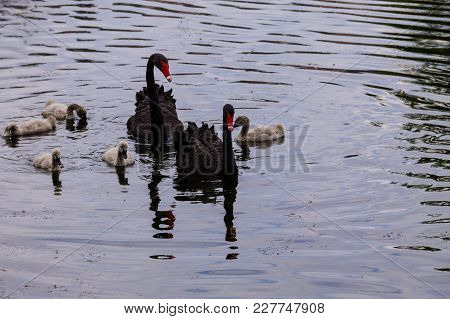 Black Swans Family Floating On The Lake Surface