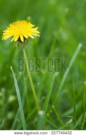 A Dandelion Flower Weed Close Up In Grass