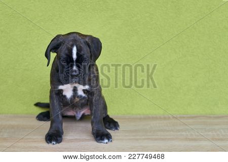 Small Serious Black With White Spot On Nose Bridge Boxer Puppy On Green Background