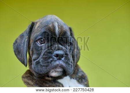 Small Brindle With White Spots Boxer Puppy On Green Background