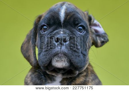 Brindle With White Spots Boxer Puppy On Green Background