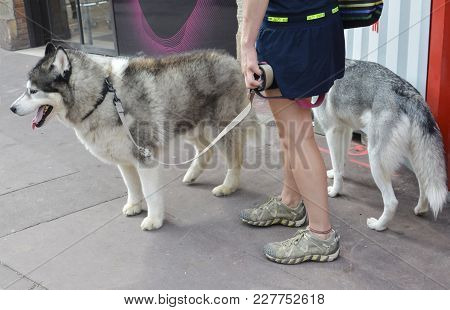 A Girl Is Walking On A Leash Simultaneously Two Husky