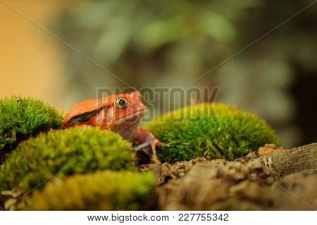 Beautiful Orange Toad. Madagascar Tomato Frog. Crapaud Rouge De Madagascar