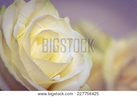 Beautiful Yellow Rose Flower Head. The Best Gift For A Dearly Loved One. Close Up Of A Yellow Rose.