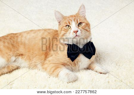 Ginger Cat With Black Bow Tie Lying On Beige Carpet