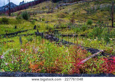 Prescribed Burn Area, Bow Valley Parkway, Banff National Park, Alberta, Canada