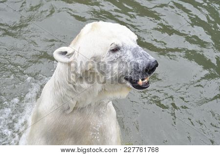 A Young Polar Bear Is Swimming In The Water