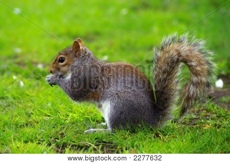 Grey Squirrel eating a nut in a park poster
