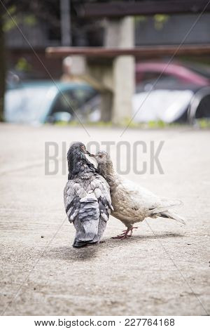 Two Cute Pigeons Kissing With Their Beaks, Walking Together On A Sunny Day Outdoors