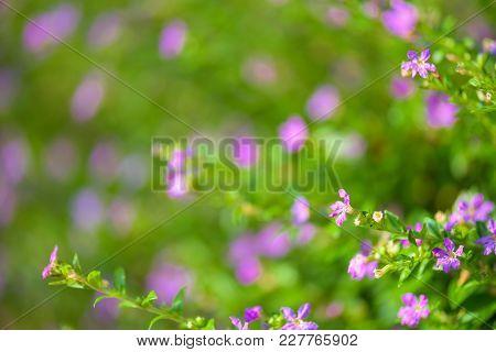 Soft Focus Beautiful Purple Cuphea Hyssopifolia Flower
