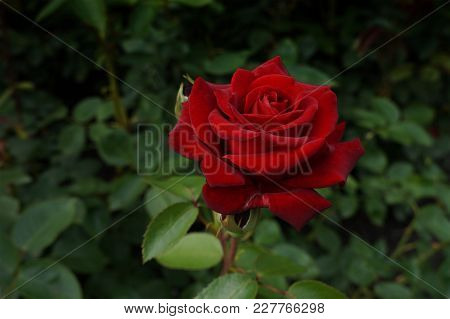 Red Rose On A Branch With Green Leaves. Beautiful Summer Background.