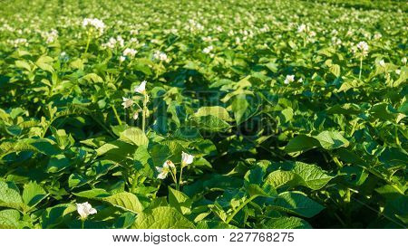 Beautiful Potato Field With Flowers. Green Field Of Blooming Potatoes.