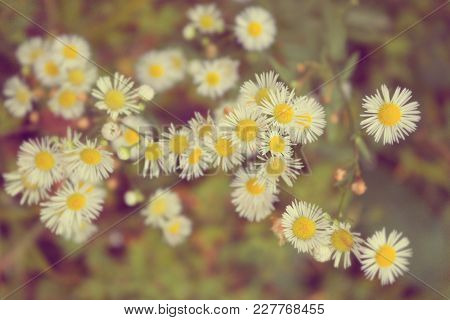 Chamomile Romantic Vintage Tinted. Chamomiles Background, Flowers In The Sunny Summer Day.