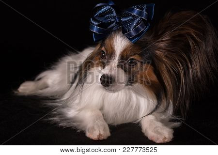 Beautiful Dog Continental Toy Spaniel Papillon With A Blue Bow On His Head On A Black Background