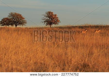 The Grasslands At The Tallgrass Prairie Preserve  With White Tailed Deer Walking Across The Field Lo