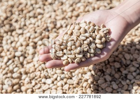 Coffee Beans In Woman Hands. Coffee Beans Closeup Background. Green Unroasted Coffee Beans.
