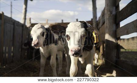 Two Young Bulls On A Farm.  Young Bulls On A Farm In A Pen.