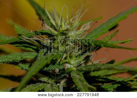 Photo Picture Of Young Green Cannabis Marijuana Leaf Plant Detail