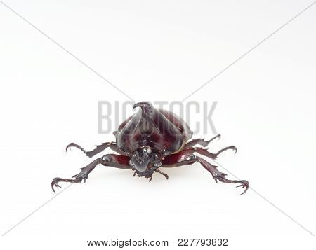 Fighting Or Rhinoceros Beetle Shot Front View Isolated On White Background Which Male Beetles Are Us