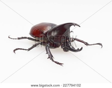 Fighting Or Rhinoceros Beetle Isolated On White Background Which Male Beetles Are Used For Gambling