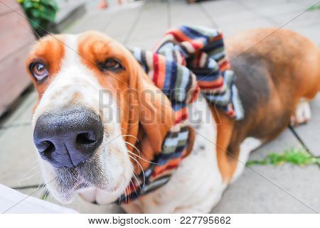 Dog, Close Up Big Black Nose Young Tricolor Lovely Basset Hound In Brown White And Black With Scraf