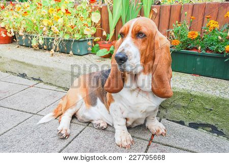 Dog, Young Tricolor Lovely Basset Hound In Brown White And Black With Long Ears In Sitting Postion O