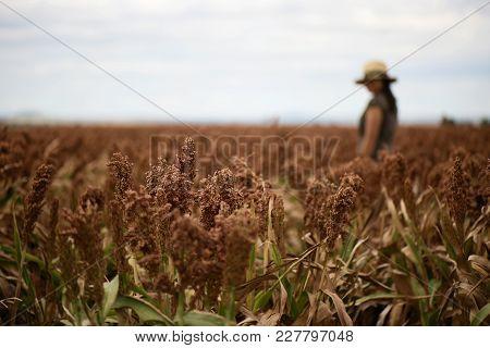 Field Of Australian Sorghum.