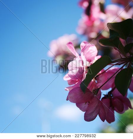 Pink Apple Flowers In Bloom. Spring. Aged Photo. Flowers Bloom In Spring Season. Apple Blossom Time.