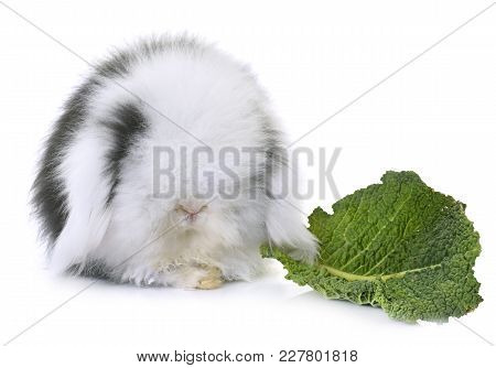 Lop-eared  Rabbit In Front Of White Background