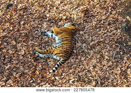 Tigress Lying On The Ground, Resting. Russia. The Amur Tiger. Taiga