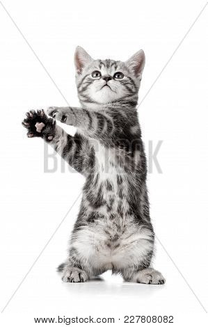 Playful Kitten Cat Isolated On White Background