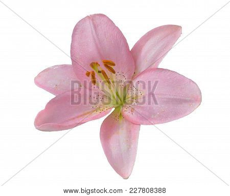A Close Up Of The Flower Pink Lily With Raindrops On Petals. Isolated On White.