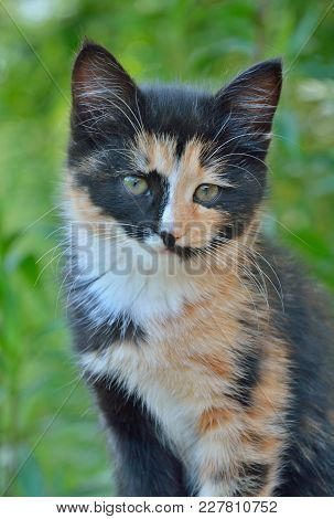 A Close Up Of The Small Multicolored Kitten.