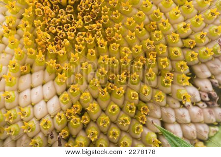 Sunflower Seeds Source Of Oil And Biodiesel