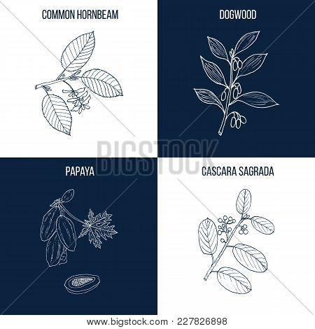Vector Collection Of Four Hand Drawn Medicinal And Eatable Plants, Hornbeam, Dogwood, Papaya, Cascar