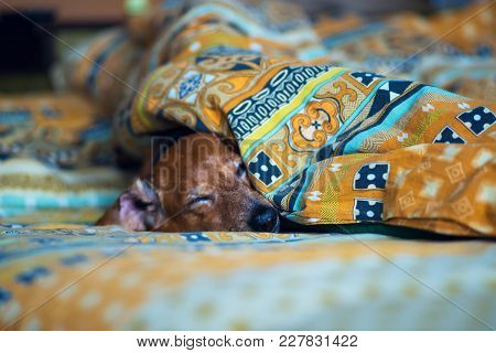 Funny Small Dog Is Sleeping Sweetly On The Couch, Sticking Its Muzzle Out From Under The Blankets.