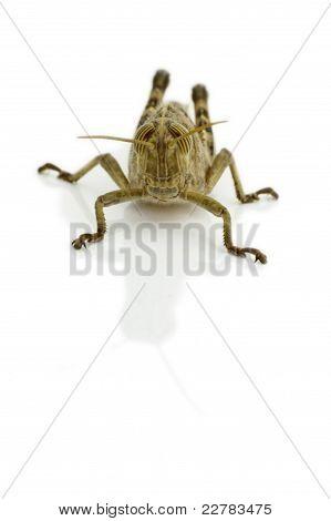 Grasshopper Front