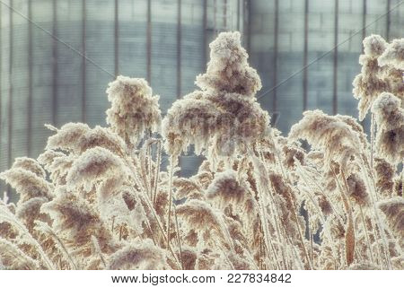 Winter Reeds Covered With Hoarfrost On A February Day.